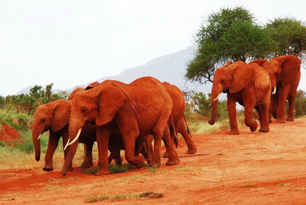 Red elephants at Tsavo