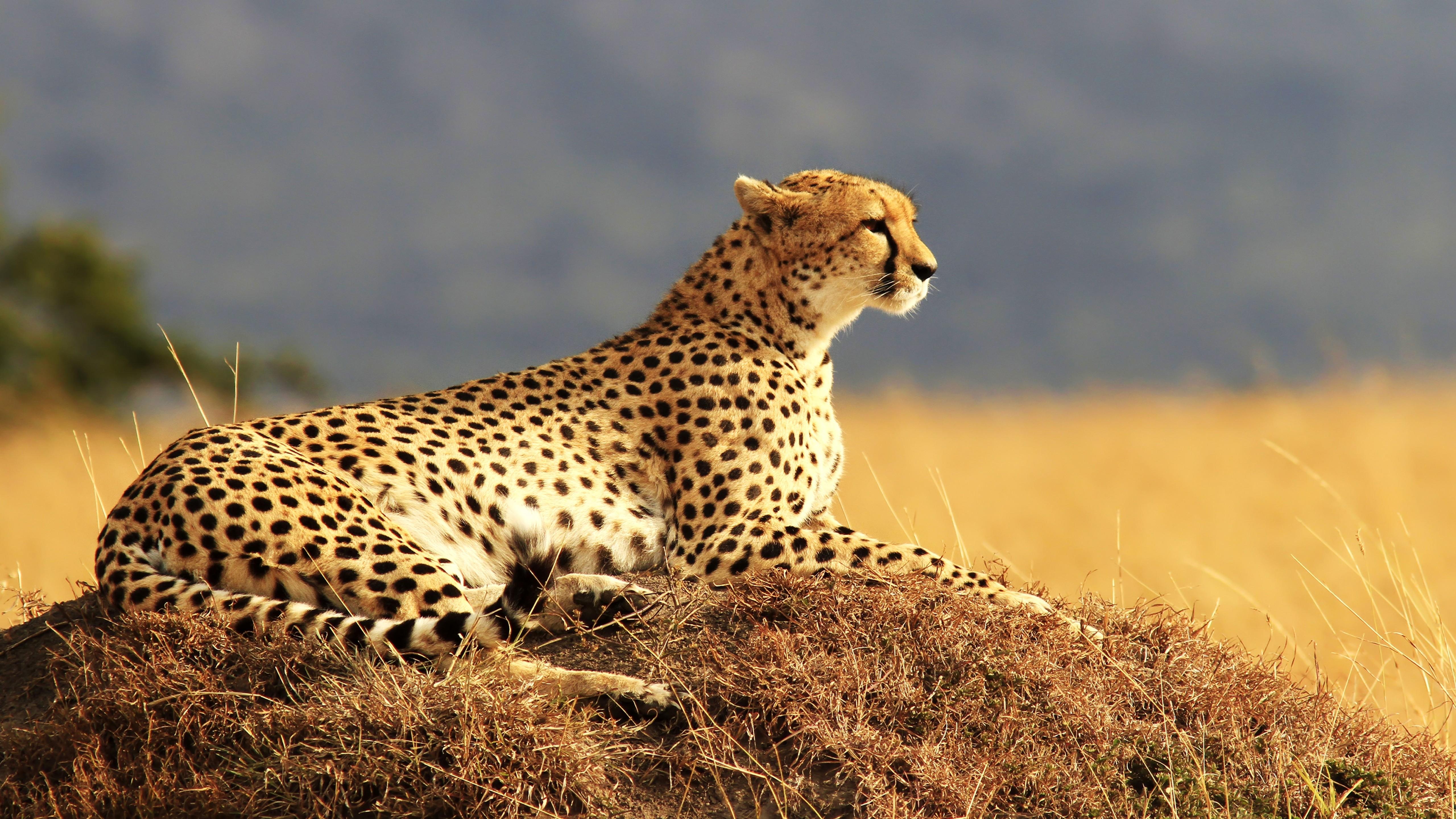 cheetah-5120x2880-maasai-mara-national-reserve-kenya-safari-hd-4k-1938