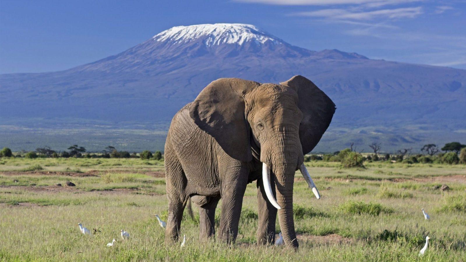 elephant-bull-front-of-kilimanjaro-amboseli-1600x900