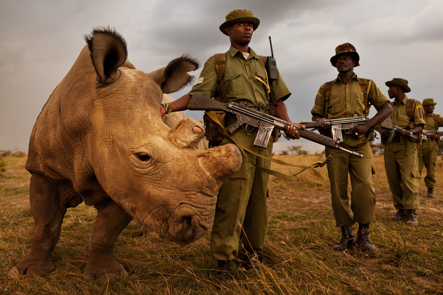"""OL PEJETA CONSERVANCY, KENYA, JULY 2011:  A four man anti-poaching team permanently guards Northern White Rhino on Ol Pejeta Conservancy in Kenya, 13 July 2011. The Ol Pejeta Conservancy is an important """"not-for-profit"""" wildlife conservancy in the Laikipia District of Kenya and the largest sanctuary for black rhinos in East Africa. It is also the home of 4 of the world's remaining 8 Northern White Rhino, the worlds most endangered animal. There has been an increase in poaching incidents on Ol Pejeta recently, in line with a massive worldwide increase in rhino poaching linked to the rise in the Asian middle class. Anti-poaching teams provide close protection to the rhino, with 24 hour observation over all rhino on Ol Pejeta and 24 hour armed guard protection over the 4 Northern White Rhino who are kept in their own Boma area. The team have developed extraordinary relationships with these Rhino, leaning on them, scratching them and displaying tremendous affection towards these most endangered of animals. Each of the men in these teams feels a genuine vocation towards the protection of these animals, something the rhino seem to sense, and this emerges on a daily basis as the men walk with the rhino through their day. (Photo by Brent Stirton/Reportage for National Geographic.)"""