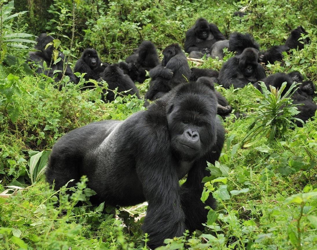 gorilla-safaris-to-uganda2