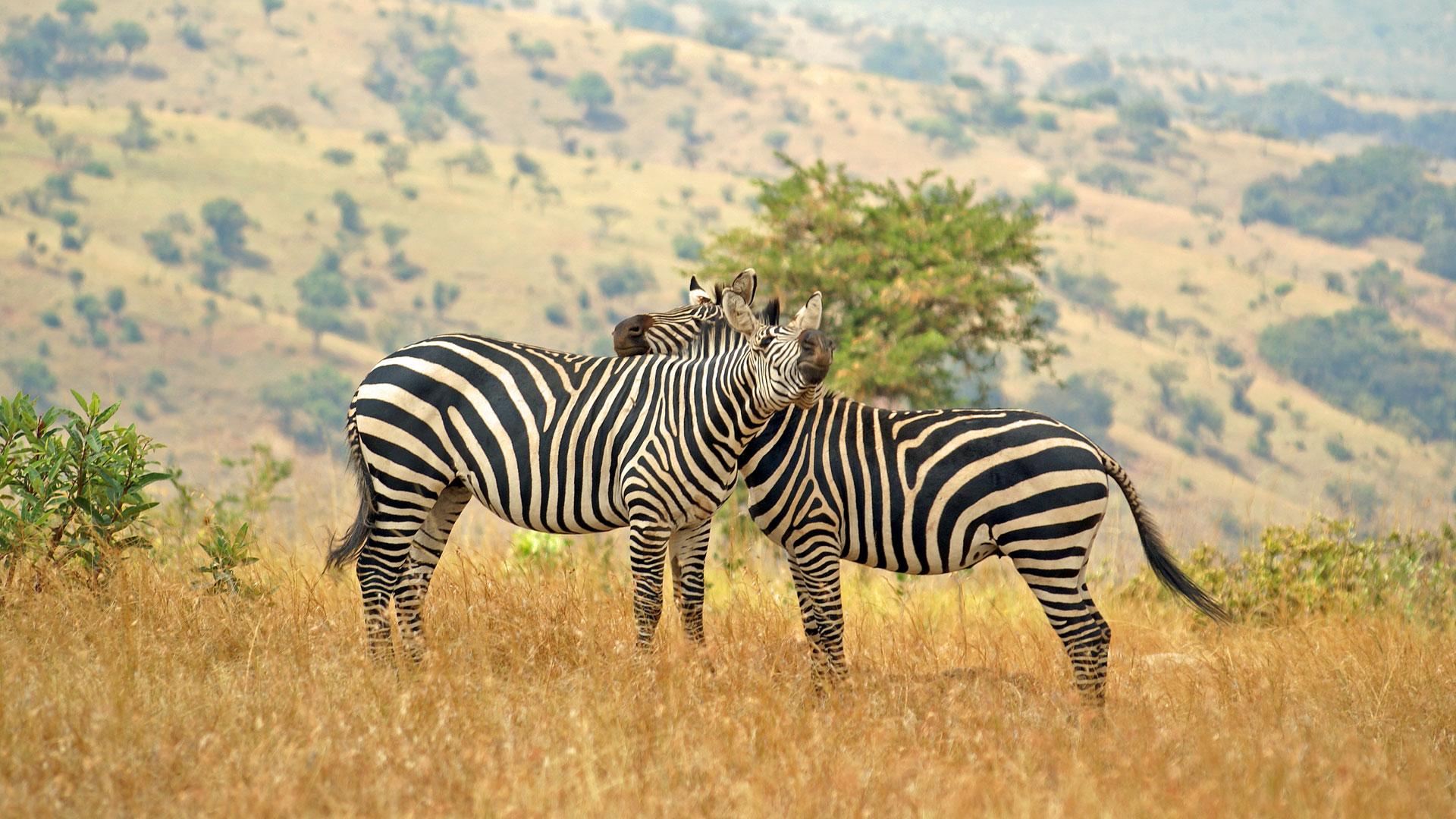 nws-st-rwanda-zebra