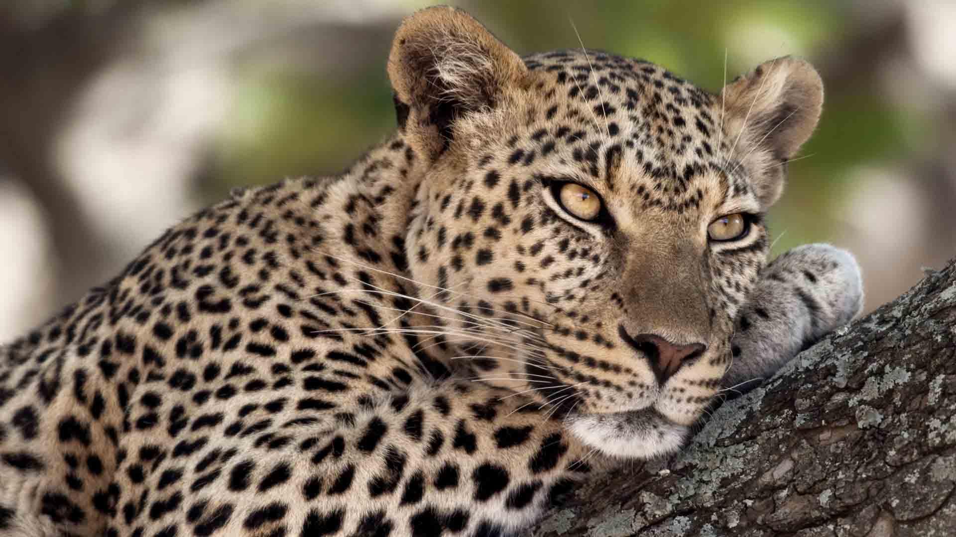 nws-st-tanzania-leopard-close-up