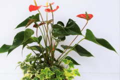 Anthurium Planter, Starting @ $75