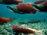 sockeye-salmon_715_600x450