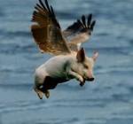 pig flying