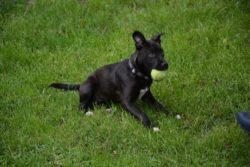 Stella, the new Black Dog