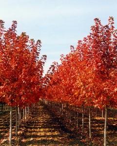 slideshow-maple-autumn-blaze