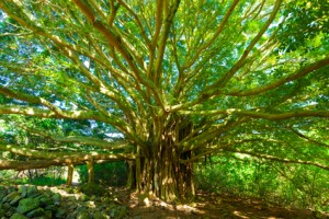 Tree of Life, Amazing Banyan Tree