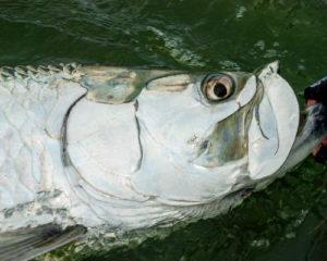 Giant tarpon caught in Boca Grande, FL