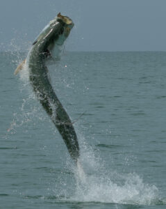Jumping tarpon in Boca Grande