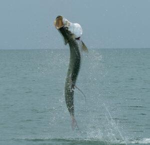 Tarpon jumping in Boca Grande