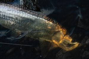 Underwater Tarpon