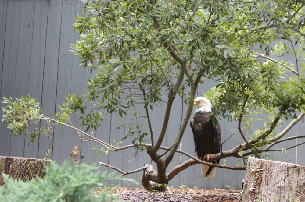 Bald Eagle at Busch Gardens Williamsburg Eagle Ridge
