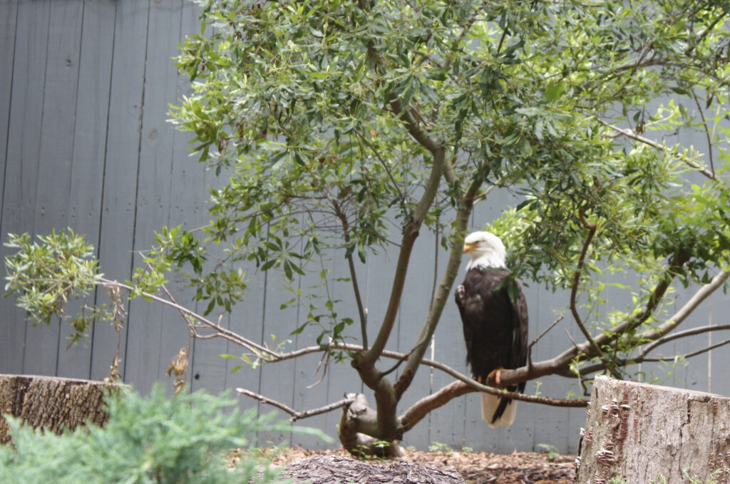 Bald Eagle at Busch Gardens Williamsburg Eagle Ridge