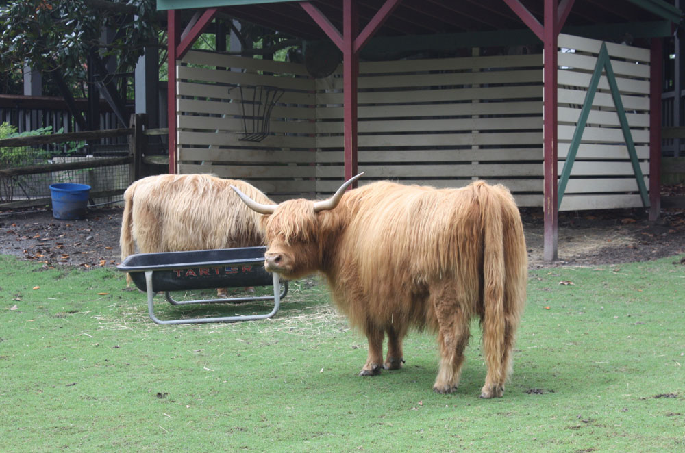 Scottish Highland Cattle at Busch Gardens Williamsburg