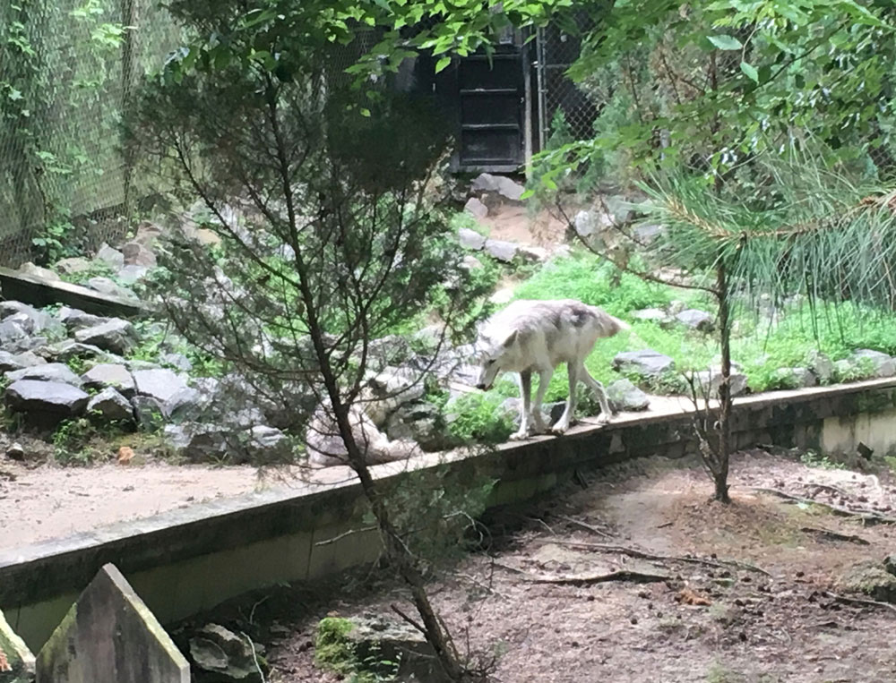 Wolves at Busch Gardens Williamsburg Wolf Valley