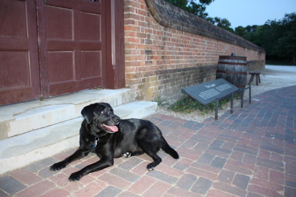 Colonial Williamsburg VA Capitol Building Black Lab Dog