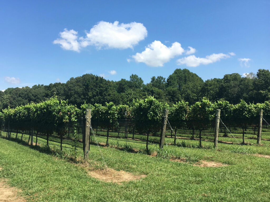 Williamsburg Winery Vineyard