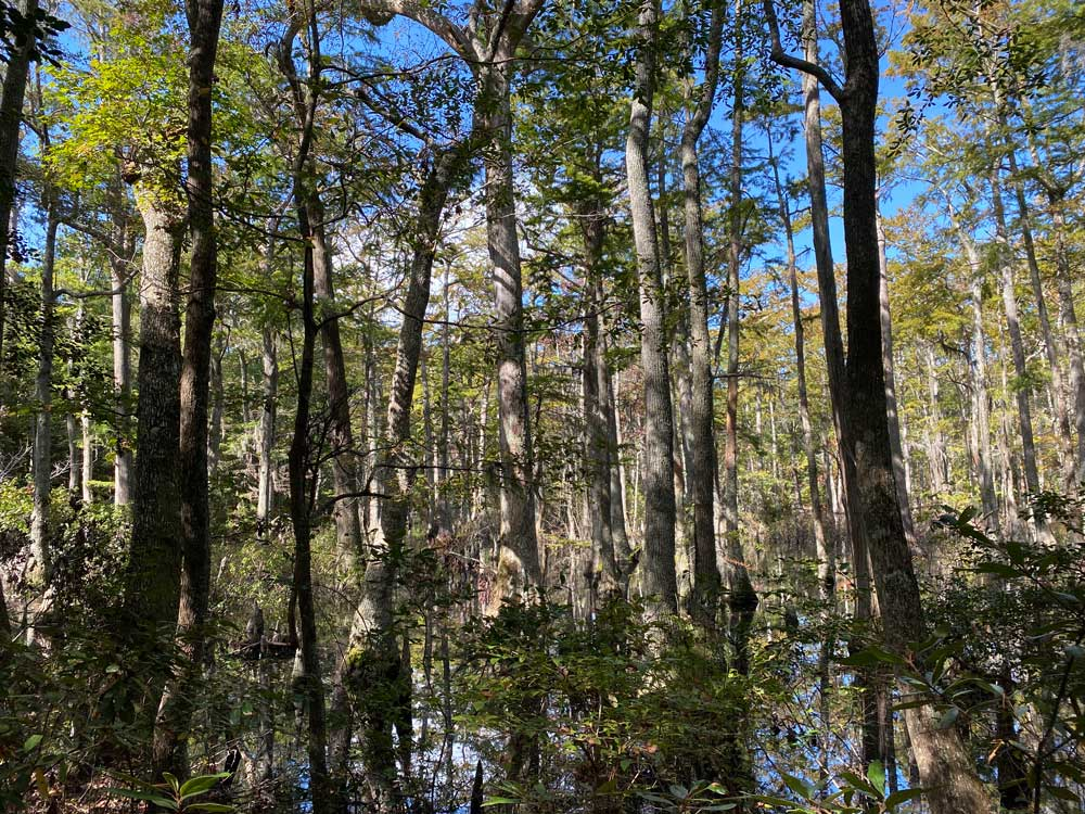 First Landing State Park Cypress Trees