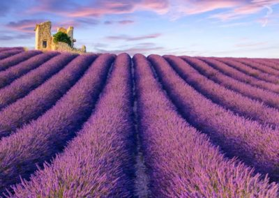 Scented Fields of Lavender Extend to the Horizon in Provence
