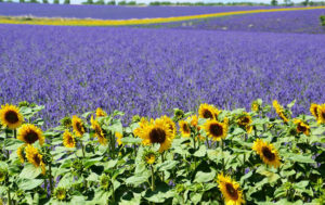 Lavender and Sunflowers flood Provence