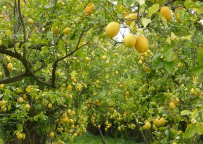 Sorrento lemon grove