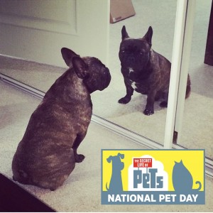 Jameson The French Bull Dog poses for National Pet Day. Photo Credit: Erica Nolda.