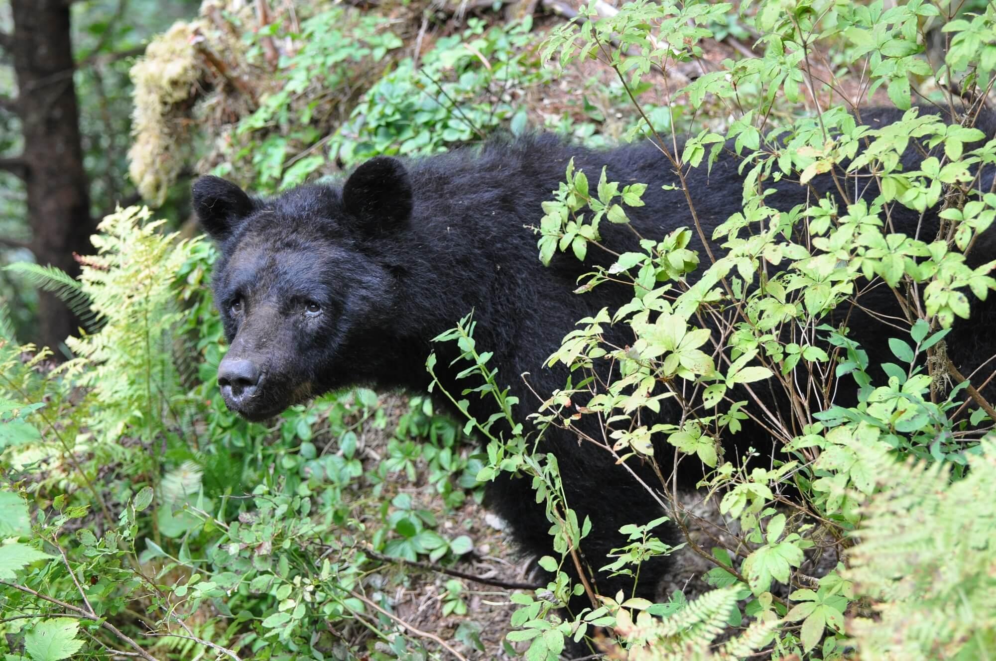 https://secureservercdn.net/72.167.241.180/c2p.415.myftpupload.com/wp-content/uploads/2018/10/Alaska-Bear-Black-Bear-in-vegetation.jpg?time=1634200883