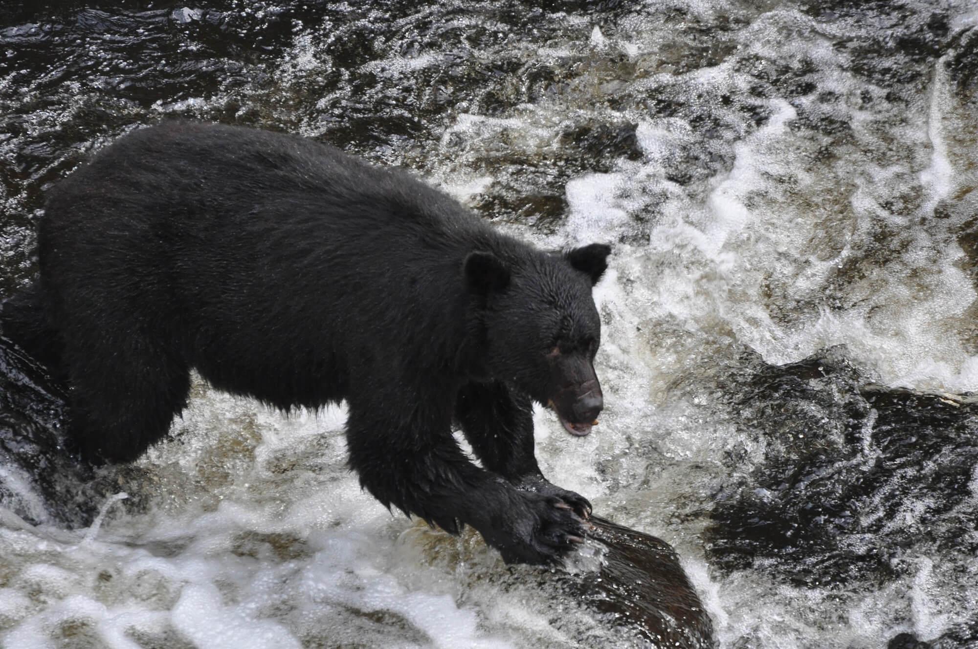 https://secureservercdn.net/72.167.241.180/c2p.415.myftpupload.com/wp-content/uploads/2018/10/Alaska-Bear-Black-Bear-on-rock-in-rapids.jpg?time=1634200883