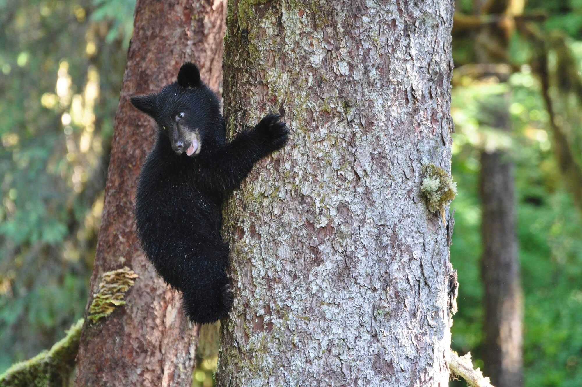 https://secureservercdn.net/72.167.241.180/c2p.415.myftpupload.com/wp-content/uploads/2018/10/Alaska-Bear-cub-in-tree.jpg?time=1634200883