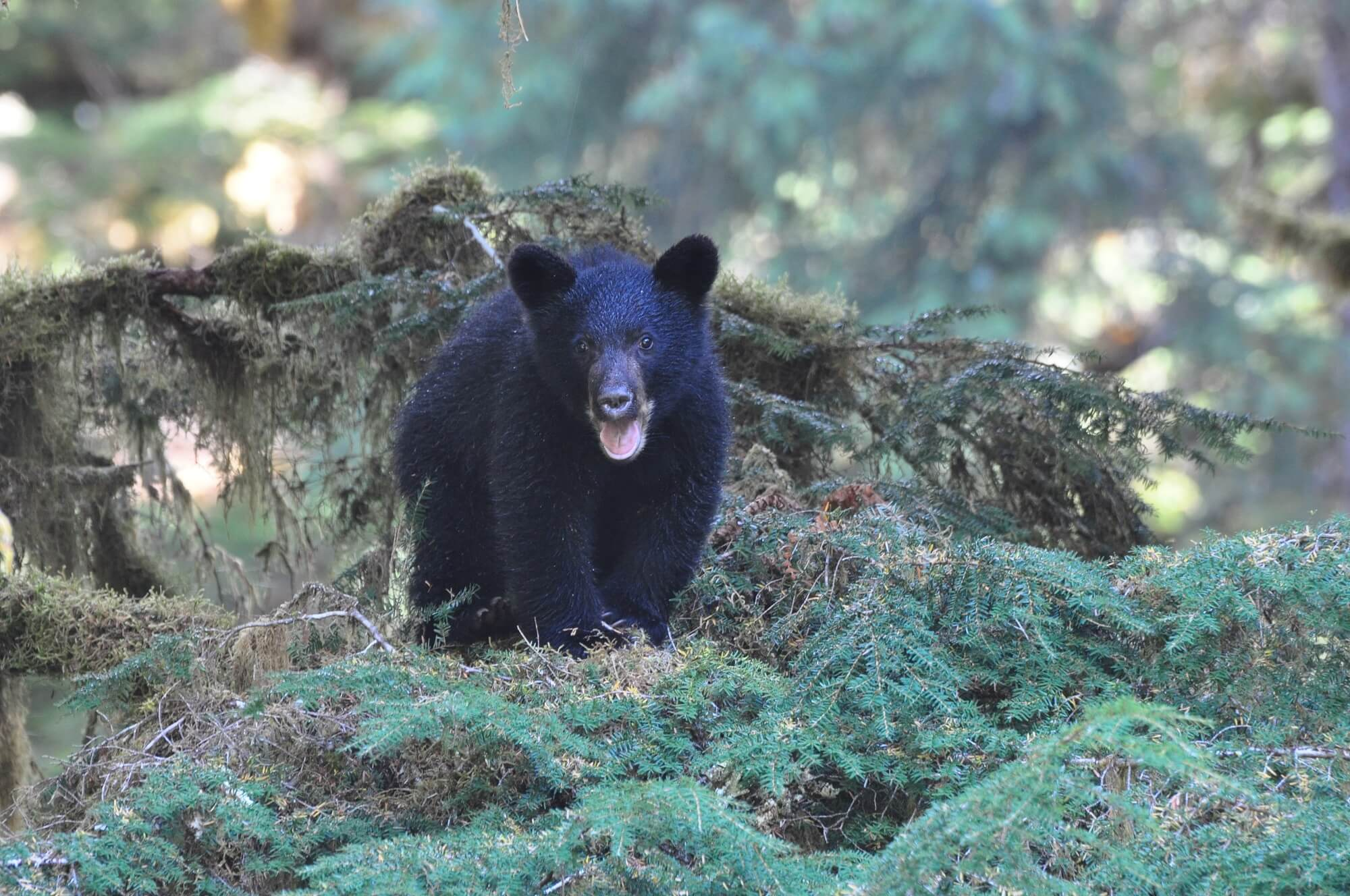 https://secureservercdn.net/72.167.241.180/c2p.415.myftpupload.com/wp-content/uploads/2018/10/Alaska-Bear-cub.jpg?time=1634200883