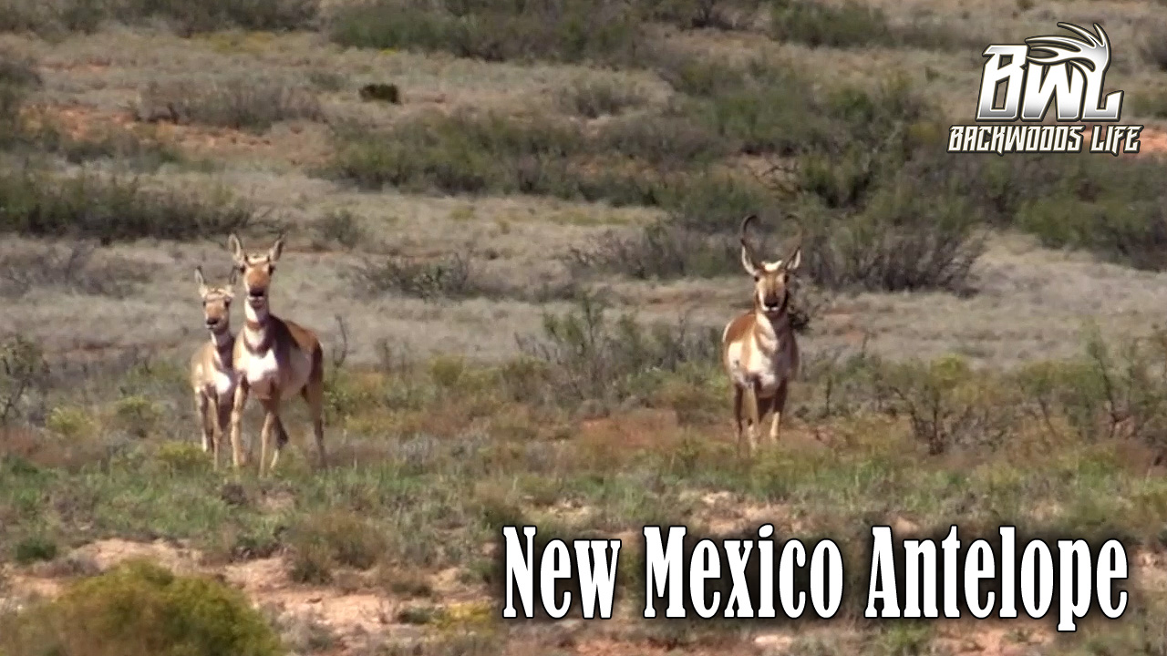 New Mexico Antelope