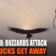 Buzzards Attack and Bucks Get Away