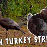 Hen Turkey Strutting