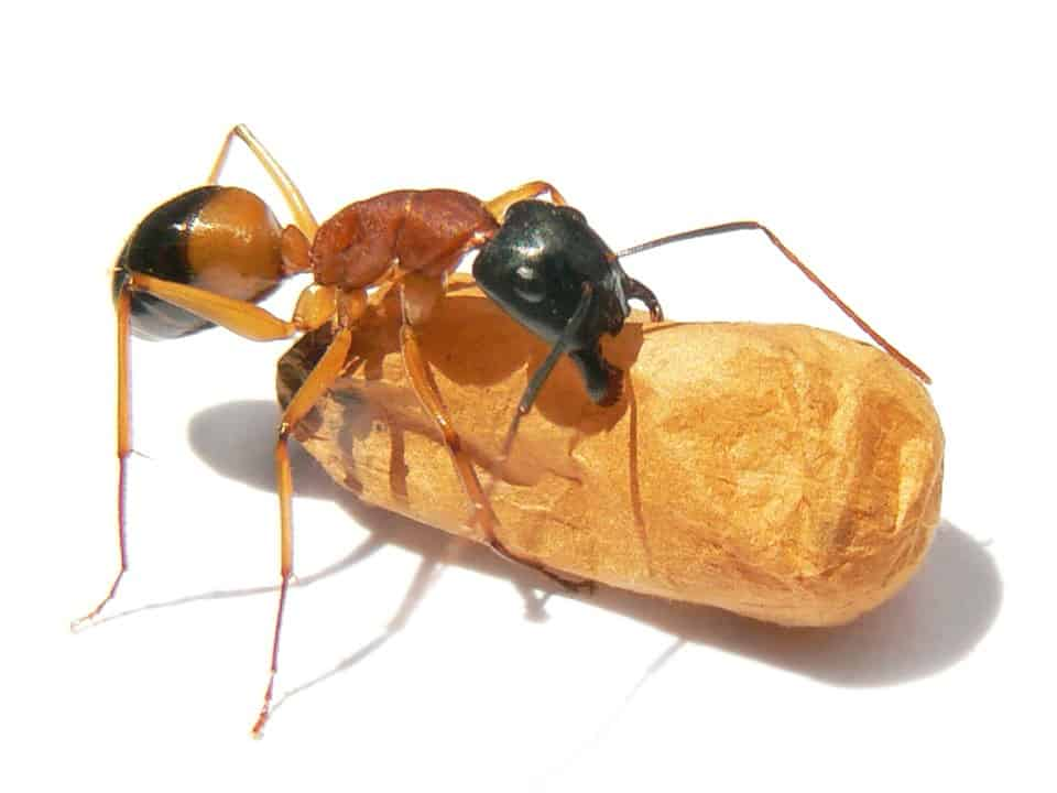 By Benjamint444 - File:Black-headed sugar ant.jpg, CC BY-SA 3.0, https://commons.wikimedia.org/w/index.php?curid=45284894