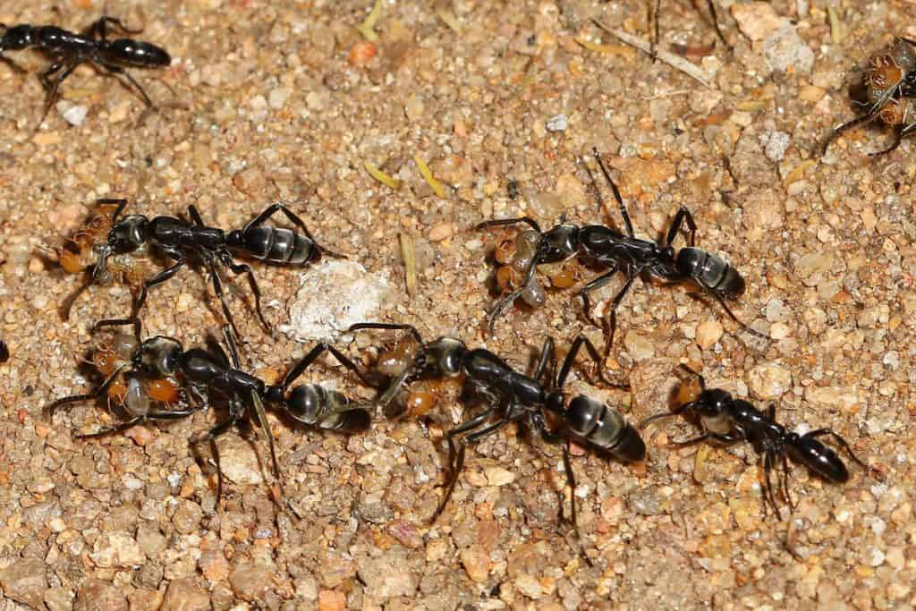 Matabele ants carrying prey back to their nest after raiding a termite nest Matabele Ants - Megaponera analis, Gorongosa National Park, Mozambique https://commons.wikimedia.org/wiki/File:Matabele_Ants_-Megaponera_analis,_Gorongosa_National_Park,_Mozambique(41879202755).jpg
