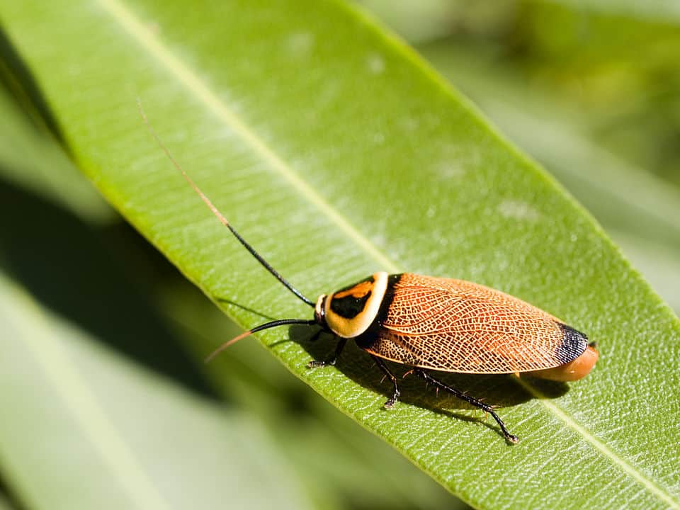 By Cyron Ray Macey from Brisbane (-27.470963,153.026505), Australia - Bush Cockroach, CC BY 2.0, https://commons.wikimedia.org/w/index.php?curid=2776110