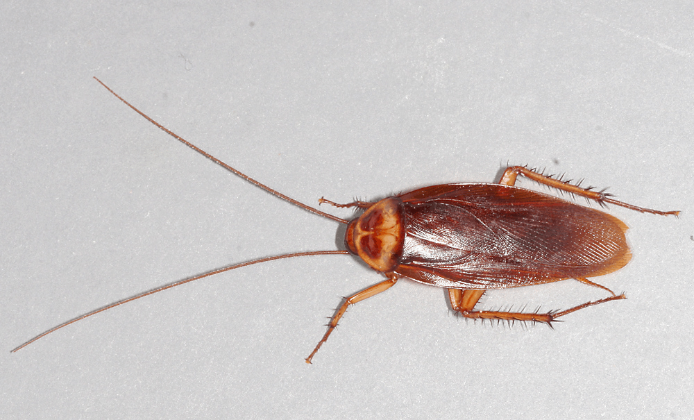 By American-cockroach.jpg: Gary Alpertderivative work: B kimmel (talk) - American-cockroach.jpg, CC BY 2.5, https://commons.wikimedia.org/w/index.php?curid=11949468