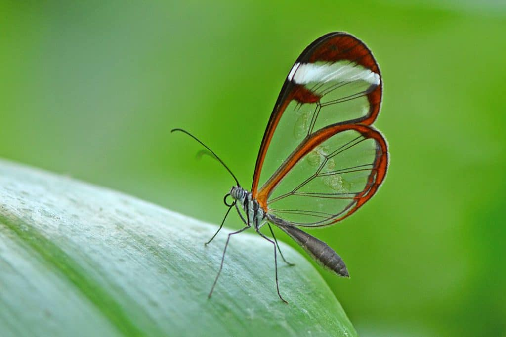 By Alias 0591 from the Netherlands - Glasswinged butterfly, CC BY 2.0, https://commons.wikimedia.org/w/index.php?curid=63532857