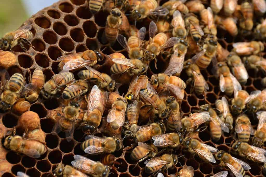 By U.S. Geological Survey from Reston, VA, USA - Queen Bee, Public Domain, https://commons.wikimedia.org/w/index.php?curid=65657513