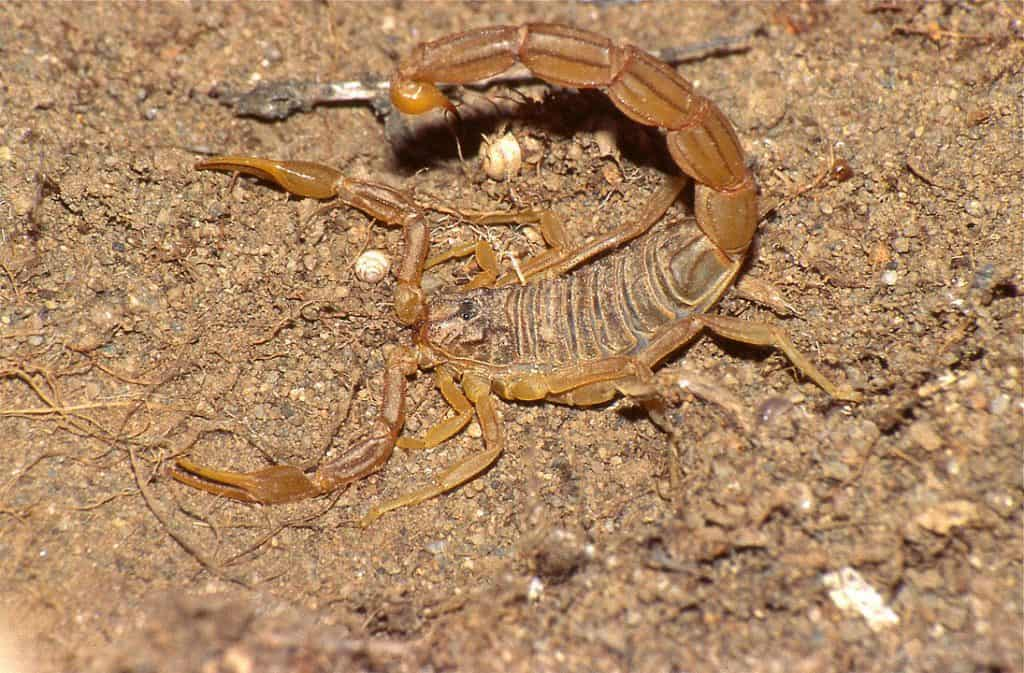 By Bernard DUPONT from FRANCE - Common Yellow Scorpion (Buthus occitanus), CC BY-SA 2.0, https://commons.wikimedia.org/w/index.php?curid=61868787