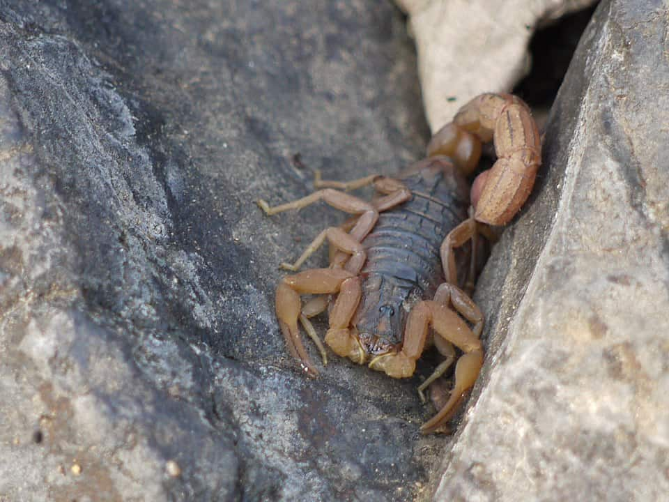 By Dinesh Valke from Thane, India - ... scorpion:: Indian red scorpion, CC BY-SA 2.0, https://commons.wikimedia.org/w/index.php?curid=51571337