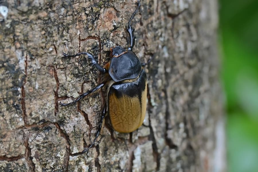 By Geoff Gallice from Gainesville, FL, USA - Elephant beetle, CC BY 2.0, https://commons.wikimedia.org/w/index.php?curid=22440310