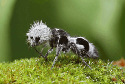 By Chris Lukhaup - Chris Lukhaup - http://onebigphoto.com/panda-ant/, CC BY-SA 4.0, https://commons.wikimedia.org/w/index.php?curid=40023816