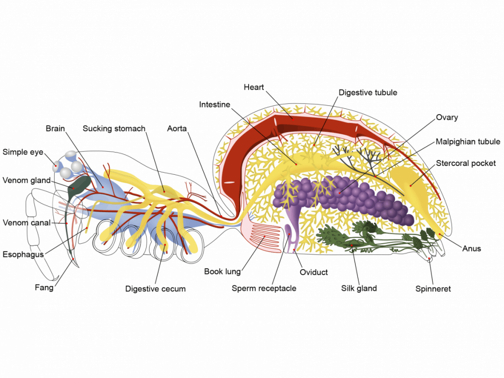 By !Original:John Henry ComstockVector: Pbroks13 (Ryan Wilson) - Anatomical information and original diagram from The Spider Book (1912, 1920) by John Henry ComstockAdditional anatomical information from Biology of Spiders (1996) by Rainer F. Foelix, CC BY 3.0, https://commons.wikimedia.org/w/index.php?curid=7477183
