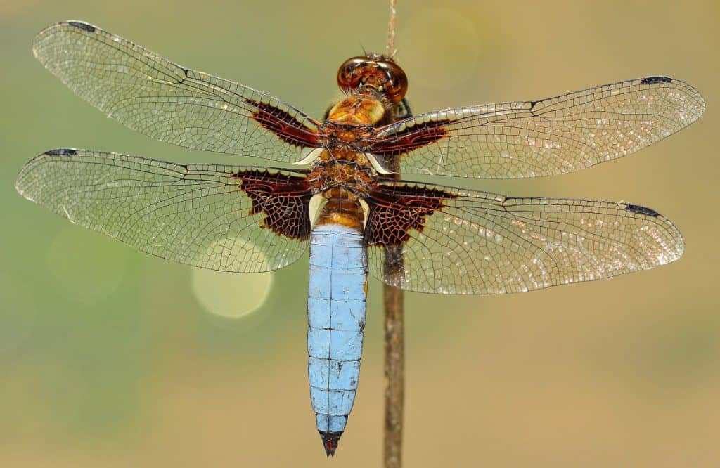 color of dragonflies
