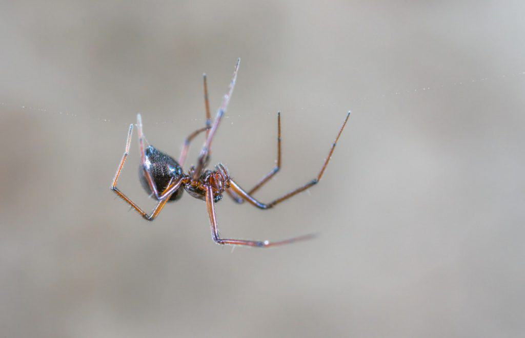 are house spiders female