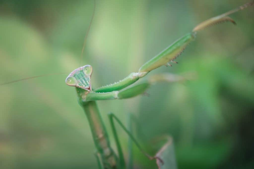 do preying mantis eat hummingbirds