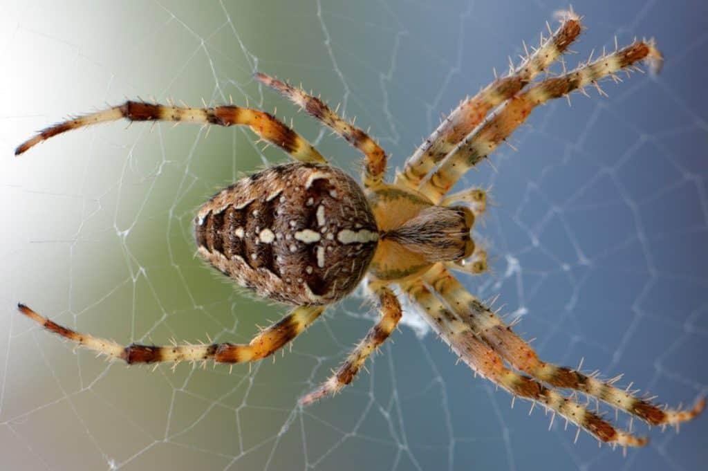 spider mantis